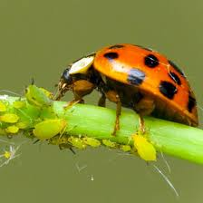 How To Find Ladybugs In Your Backyard Buy Ladybugs Online Free 2 Day Shipping Planet Natural