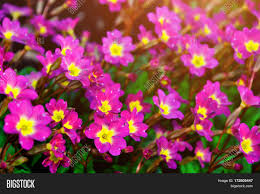 Image Of Spring Flowers by Blooming Spring Flowers Spring Flowers Of Primula Juliae Also