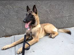 belgian sheepdog malinois this is the only kind of dog that the elite navy seals utilize