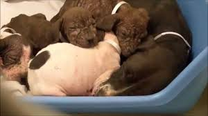 pitbull puppies a litter of pitbull puppies with mange skin