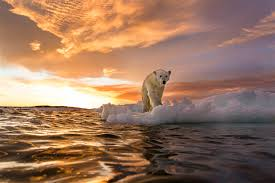 where to see polar bears in the wild