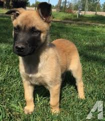 belgian malinois 10 weeks belgian malinois for sale in california classifieds u0026 buy and sell
