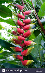 birds of paradise flowers the heliconia rostrata or false bird of paradise plant with