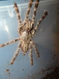 poecilotheria vittata ghost ornamental tarantulas