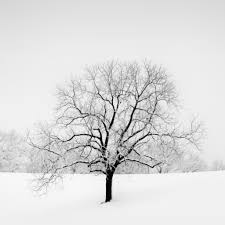 veiled in white snow covered oak tree story the flickr