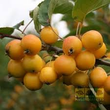 malus crab apple golden hornet although largely ornamental