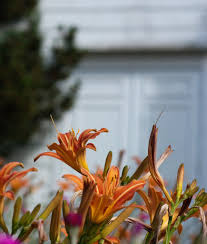 day lilies growing daylilies tips for daylily care