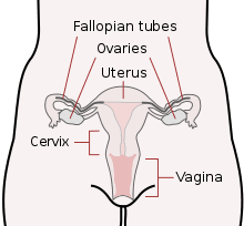 Anatomy Of Reproductive System Female Female Reproductive System Wikipedia