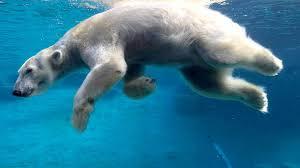white polar bear swimming water desktop wallpaper hd free