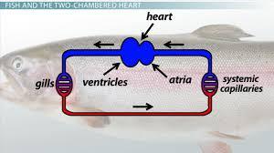 two chambered heart definition u0026 anatomy video u0026 lesson