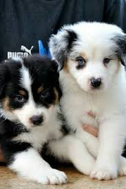 australian shepherd puppies 7 weeks australian shepherd pups animal love pinterest australian