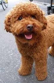 haircutsfordogs poodlemix apricot poodles make great therapy dogs pets my dear friends