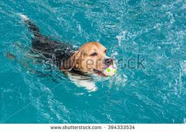 little beagle dog swimming pool stock photo 394333540 shutterstock