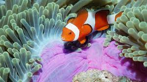 animals fishes tropical color clownfish underwater sea ocean life