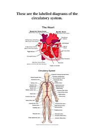 Human Body Picture 38 Best The Human Body Images On Pinterest Human Anatomy Human