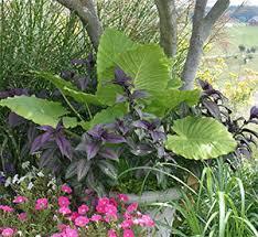 Tropical Plants For Garden - viette u0027s overwintering tropical plants