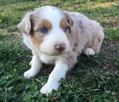 australian shepherd puppies for sale registered male red merle australian shepherd puppy for sale in