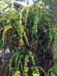 low light outdoor plants croton care how to grow the colorful codiaeum plant