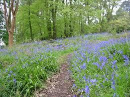 best walks for british bluebells the english garden