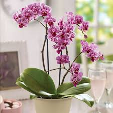 moth orchid min moth orchid rainbow flowers gifting