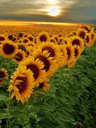 salina ks sunflower field by kansas state university 158 best kansas i kinda like it images on pinterest