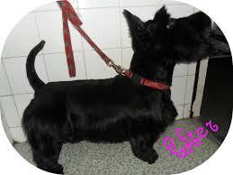 scottish yerrier haircuts scottish terrier linella dog grooming salon