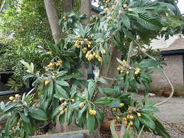 Tree San Diego Fruit Trees San Diego Guide Best Trees To Grow Install It