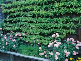 how to make an espalier with wires on a garden wall sunset