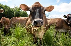 grass fed milk is taking off with health conscious shoppers wsj