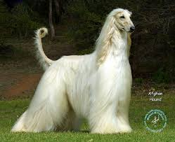 afghan hound blonde types hound dogs hunting dog breeds there are two types of