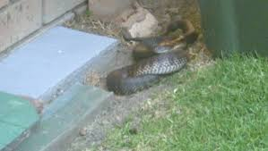 snakes alive tiger snake caught and released narooma news