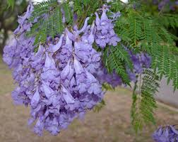 tree with purple flowers jacaranda mimosifolia