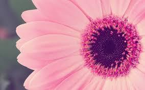 gerbera daisies gerbera daisies wallpaper 1920x1200 42483