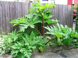 Weed Or Flower Pictures - giant hogweed identification and control heracleum mantegazzianum
