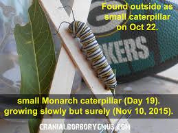 tachinid flies are killing my monarch caterpillars help