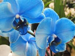 blue orchid flower eletragesi blue orchids images