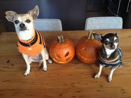 Chihuahua Halloween Costume Chihuahuas Cute Cute Dogs Dog Clothes Dog Costumes Dress