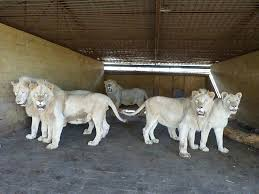 lions for sale sale of animals animals for sale zoopark berousek