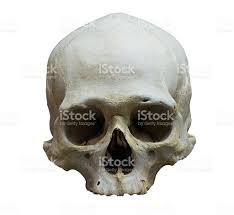 halloween word background skull model without jaw bone on isolated white background stock