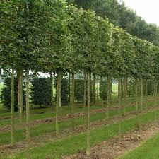 pleached hornbeam trees buy pleached carpinus betulus hedging