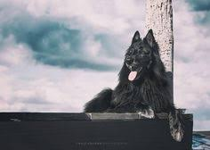 belgian sheepdog oklahoma white birch belgian tervuren dogs pinterest whites tervuren