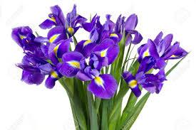iris flowers purple iris flowers isolated on white background stock photo