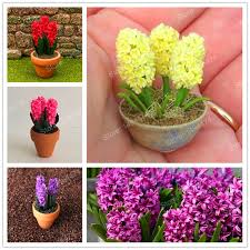 hyacinth flower 100pcs rainbow mini hyacinth seeds mini bonsai flower seeds