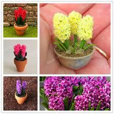 aliexpress com buy 100pcs rare rainbow mini hyacinth seeds mini