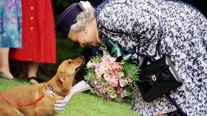 bbc news in pictures the queen u0027s corgis
