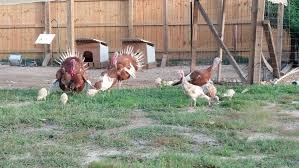 could everyone please post pictures of turkey pens backyard