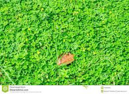 native plants in brazil arachis pintoi plant stock photo image 46328983