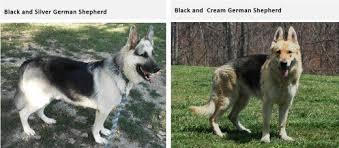 Light Sable German Shepherd German Shepherd Coats And Colors Pethelpful
