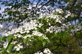 missouri native plants missouri state tree u2013 stewardsofearth