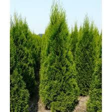 thuja smaragd ornamental conifer plants trees 2l pots 30 40cm